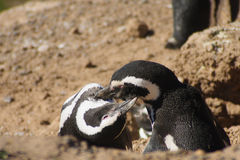Magellanic-Pinguin Lizenzfreies Stockfoto