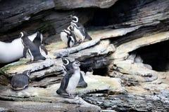 Magellanic Pinguin Stockbild