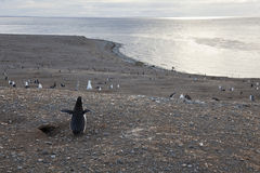 Magellanic Pinguin, der das Panorama anstarrt Stockbild