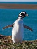 Magellanic-Pinguin in der Kolonie Nahaufnahme argentinien Halbinsel Valdes Lizenzfreie Stockbilder