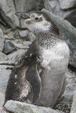 Magellanic-Pinguin, der unter den Felsen moulting ist Lizenzfreies Stockfoto