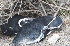 Magellanic-Pinguin in der Valdes-Halbinsel Stockbilder