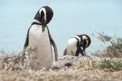 Magellanic-Pinguin in der Valdes-Halbinsel Lizenzfreie Stockbilder