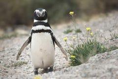 Magellanic-Pinguin in der Valdes-Halbinsel Lizenzfreies Stockbild