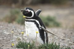 Magellanic-Pinguin in der Valdes-Halbinsel Stockfotografie