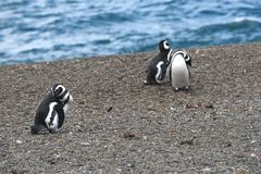 Magellanic-Pinguin in der Valdes-Halbinsel Lizenzfreies Stockfoto