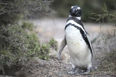 Magellanic-Pinguin in der Valdes-Halbinsel Lizenzfreie Stockfotos