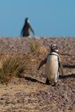 Magellanic Pinguin im Patagonia Stockbild