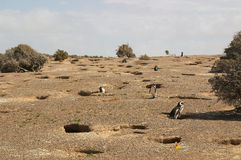 Magellanic-Pinguin im Patagonia Lizenzfreies Stockfoto