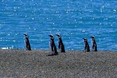 Magellanic Pinguin (Spheniscus magellanicus) lizenzfreie stockbilder