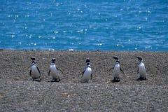 Magellanic Pinguin (Spheniscus magellanicus) lizenzfreie stockfotos