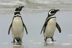 Magellanic-Pinguin, Spheniscus magellanicus Lizenzfreie Stockfotos