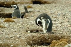 Magellanic Pinguine Stockfotografie