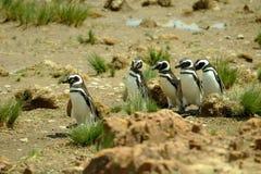 Magellanic Pinguine Lizenzfreie Stockfotografie