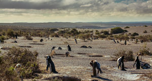 Magellanic-Pinguine Lizenzfreie Stockbilder