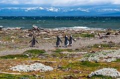 Magellanic-Pinguine in der natürlichen Umwelt - Pinguin Seno Otway Lizenzfreie Stockfotos