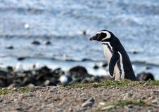 Magellanic-Pinguine am Pinguinschongebiet auf Magdalena Island in der Straße von Magellan nahe Punta Arenas in Süd-Chile lizenzfreies stockbild