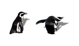 magellanic pingvin Royaltyfria Bilder