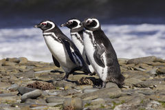 magellanic pingvin Arkivbild