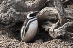 Magellanic pingvin i dess skyddade rede royaltyfria foton