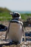Magellanic pingvin i kolonin Närbild arenaceous Halvö Valdes Arkivfoto
