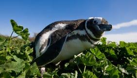 Magellanic pingvin i kolonin Närbild arenaceous Halvö Valdes Arkivbild
