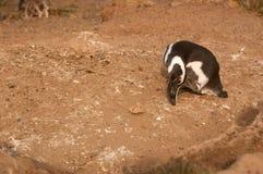 Magellanic pingvin i Patagonia Arkivbilder