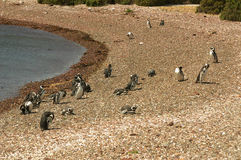 Magellanic pingvin i Patagonia Arkivfoton