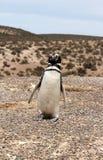 Magellanic pingvin på den Patagonian kusten. Arkivbild
