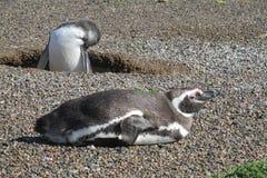Magellanic pingvin på stenar Arkivfoton