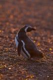 Magellanic pingvin, Patagonia, Argentina Royaltyfria Foton