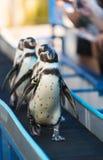Magellanic pingvin, Spheniscusmagellanicus Arkivfoto