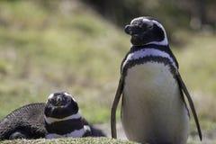 Magellanic pingvinpar i koloni Arkivbilder