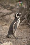 Magellanic pingwin Fotografia Stock