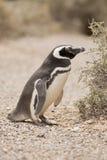 Magellanic pingwin Fotografia Royalty Free