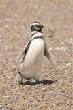 Magellanic pingwin Obrazy Royalty Free