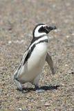 Magellanic pingwin Zdjęcie Royalty Free
