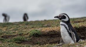 Magellanic pingwin, Magdalena wyspa, Chile Zdjęcia Stock