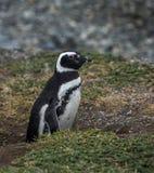 Magellanic pingwin, Magdalena wyspa, Chile Fotografia Royalty Free
