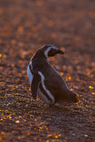 Magellanic pingwin, Patagonia, Argentyna Zdjęcia Royalty Free