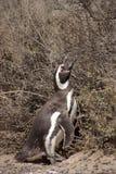 magellanic pingwin patagonii Obraz Royalty Free