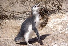 magellanic pingwin patagonii Fotografia Stock
