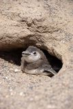 magellanic pingwin patagonii Obraz Stock