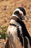 Magellanic pingwin w frontowej pozyci obraz royalty free