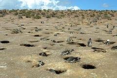 magellanic pingwiny Zdjęcia Royalty Free