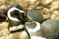 magellanic pingwiny Zdjęcia Stock