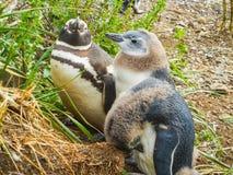 Magellanic pingwiny na wyspach Tierra Del Fuego patagonia zdjęcia stock