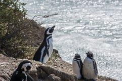 Magellanic pingwiny, półwysep Valdes, Patagonia, Argentyna Zdjęcie Stock