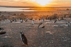 Magellanic pingwiny przy Punto Tombo Zdjęcie Royalty Free