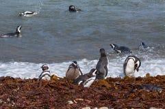 Magellanic pingwiny w naturalnym środowisku Zdjęcia Royalty Free